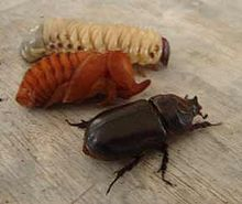 220px-Three_stages_rhinoceros_beetle